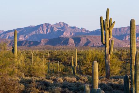 Arizona desert landscape with saguaro cactus in springtime photo