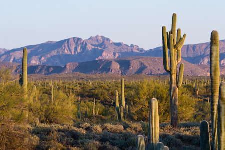 Arizona desert landscape with saguaro cactus in springtime