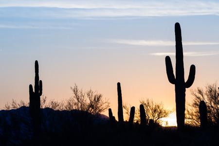 cactus: Arizona desert landscape at sunset with saguaro cactus silhouetted