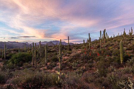 sunset in the desert, landscape in Arizona with the beautiful Saguaro cactus in springtime photo