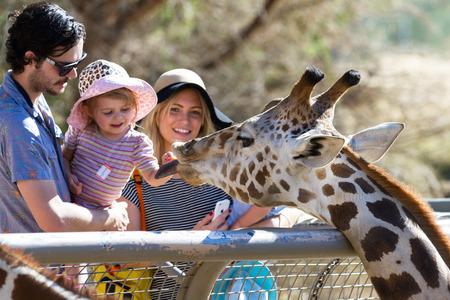 camelopardalis reticulata: The Living Desert Zoo, Palm Desert, California - February 05 : Tourist family hand feeding a Giraffe at the zoo, February 05 2015 in The Living Zoo, Palm Desert, California. Editorial