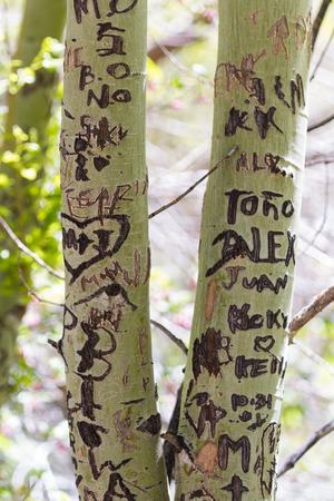 irrespeto: Lake Tahoe, Nevada - 29 de abril: los nombres y los mensajes grabados en los árboles de los pueblos, 29 de abril 2015 en Lake Tahoe, Nevada.