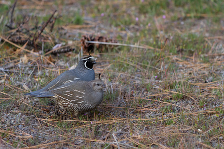 California valley quail in the Nevada desert, early spring time