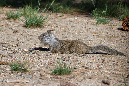 stuffing: small ground squirrel collecting and stuffing into its cheeks nuts and  seeds