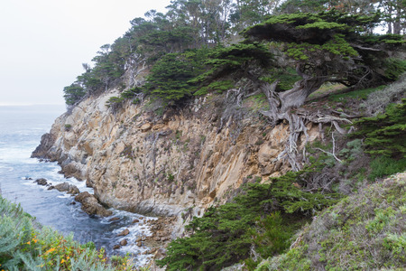 lobos: large coastal tree in California, it is called the General, located in point lobos marine preserve