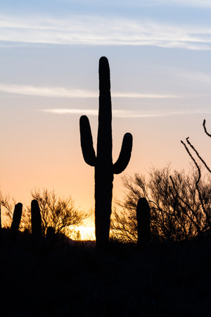 saguaro: Arizona desert landscape at sunset with saguaro cactus silhouetted