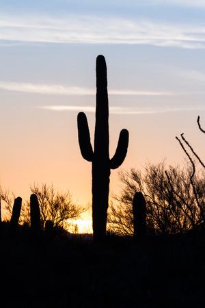saguaro cactus: Arizona desert landscape at sunset with saguaro cactus silhouetted
