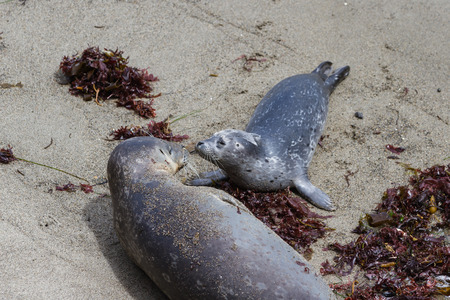 baby seal: close up of a baby seal bonding with her mother on the California coast Stock Photo