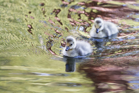 canadian geese: canadian geese babies floating on a pond in Lake Tahoe, early spring