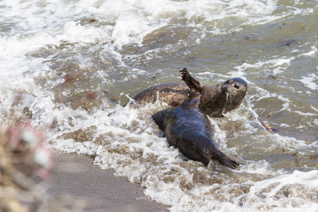 to stumble: seals playing on the shore as the waves make them stumble and loose balance Stock Photo