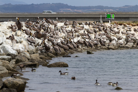 group of brown pelicans on large rocks of the California coast in moss landing Stock Photo