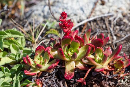 서해안에있는 즙이 많은 식물의 가까이 스톡 콘텐츠