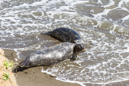 baby seal: two year old baby seal bonding with its mother in a protected cove of the California coast Stock Photo