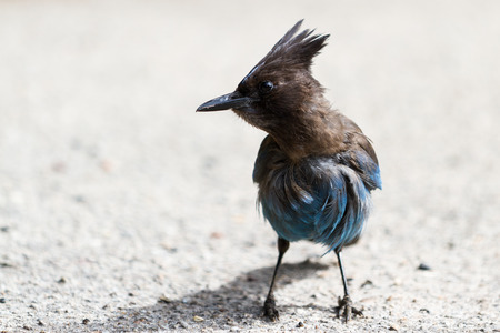 stocky: Close up of a Stellers Jay looking for some food on the ground Stock Photo