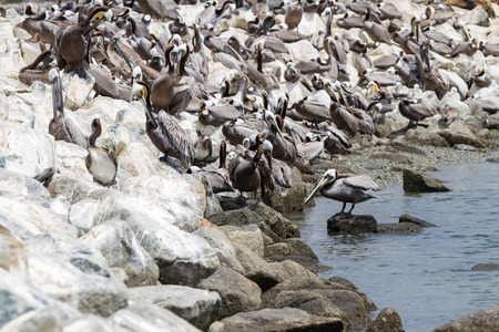 overfishing: group of brown pelicans on large rocks of the California coast in moss landing Stock Photo