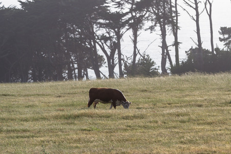 humane: healthy cow roaming on open grasslands on the California coast