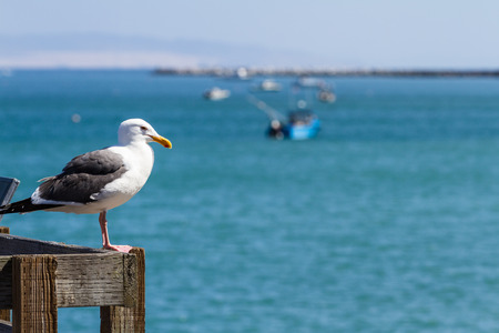 close up: close up of a sea gull with fishing boats in the background in a pier in California