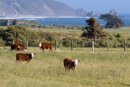 roaming: healthy calfs roaming on open grass lands on the California coast Stock Photo