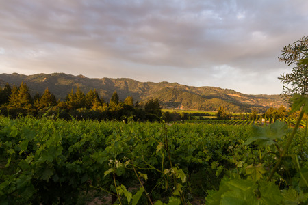 napa valley: Napa valley landscape, with rows of healthy green grape vines Stock Photo