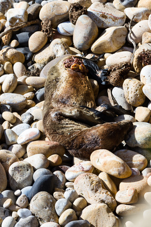 decomposing: close up of a dead seal on the California coast