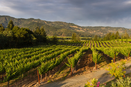 Napa valley landscape, with rows of healthy green grape vines Stok Fotoğraf