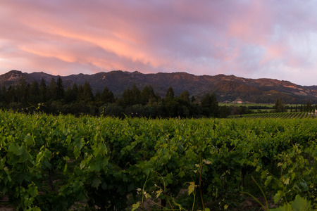 valley: Napa valley landscape, with rows of healthy green grape vines at sunset