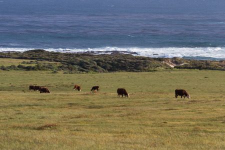 roaming: healthy cows roaming on open grass lands on the California coast Stock Photo