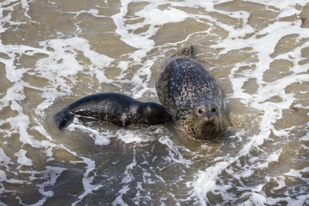 baby seal: baby seal learning from her mother about waves and sand Stock Photo