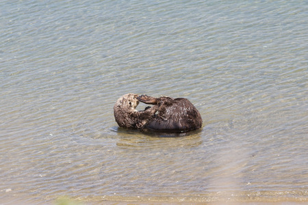 sea otter: close up of a sea otter swimming in a protected cove in California