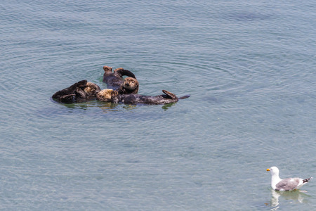 webbed: group of sea otters grooming in peace in a protected cove in California