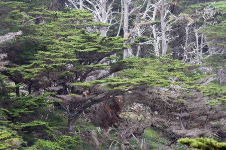 close up of the coastal trees in California in sprain with old dead ones in the background for contrast