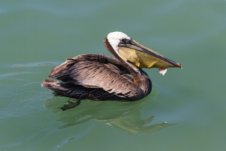 close up of a pelican eating fish scraps after the fisherman cleaned it Stock fotó