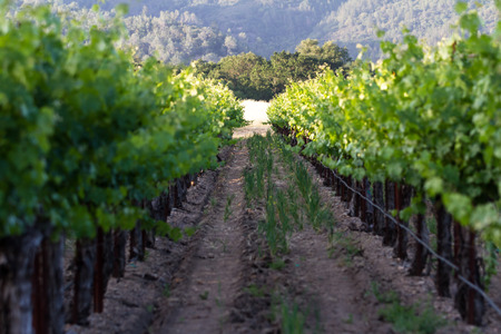 napa valley: vineyard in Napa Valley California, with perfect rows of healthy grape vines