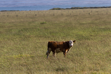 roaming: healthy calf roaming on open grasslands on the California coast Stock Photo