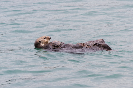 close up of a sea otter swimming in a protected cove in California