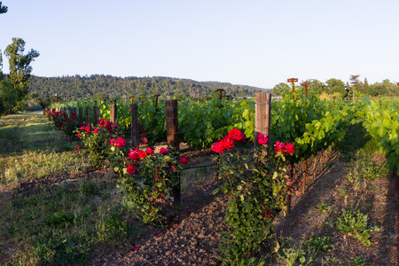 napa valley: vineyard in Napa Valley California, with red roses at the beginning and end of each row of vines