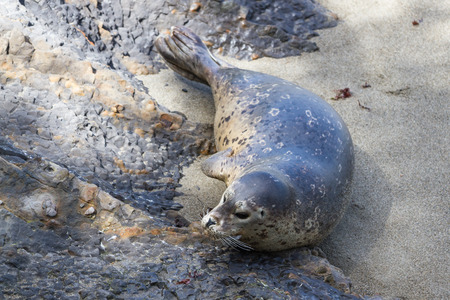 blubber: close up of a seal on the California Coast on a bright sunny day