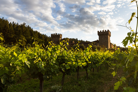 napa valley: sunset at the castle, lush green grape vines with a golden tone as the sunsets behind the horizon