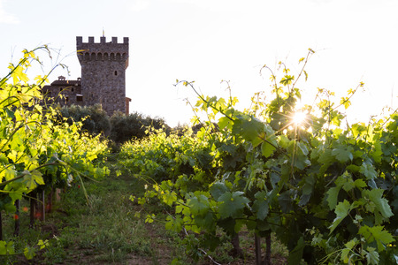 vineyard at sunset: sunset at the castle, lush green grape vines with a golden tone as the sunsets behind the horizon
