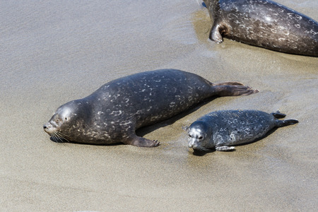 baby seal: two day old baby seal laying in the sand next to his mother