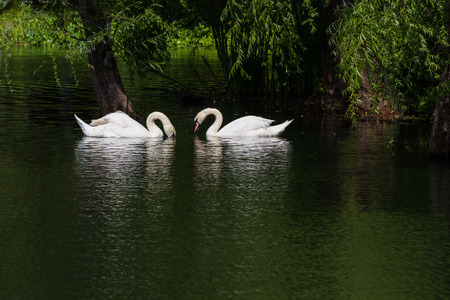man made: beautiful man made pond with two white swans as a center piece