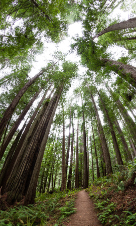 towering: tall towering trees reaching towards the sky in the Redwood National Park in Northern California Foto de archivo