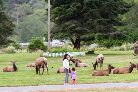 endangerment: Trinidad, California - June 17 : Young mother and daughter standing dangerously close to a herd of wild elk, June 17 2015 Trinidad, California.