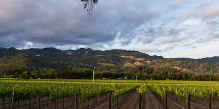 Beautiful valley with mountains in the background and multiple rows of grape vines lit by the setting sun