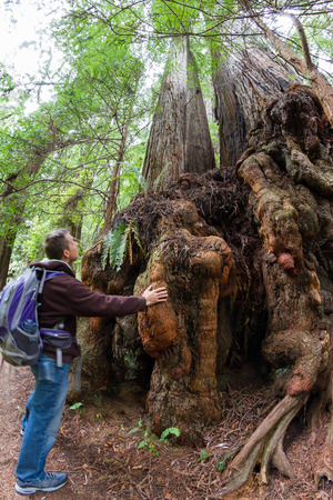 protected plant: young man on a hike in the redwood national fort in Northern California Editorial