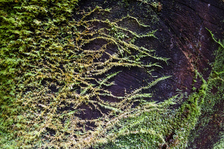 decomposing: green moss covering a giant dead redwood tree as it grows on it