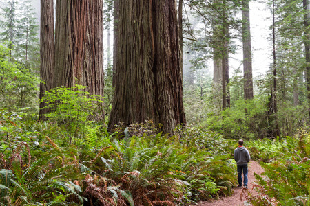 prehistoric man: man walking thru a prehistoric looking forest with giant redwood trees