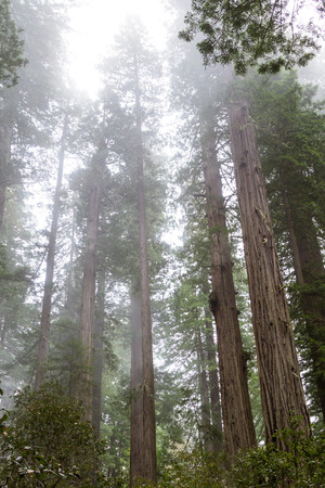 tallest: wide angle view of some of the tallest trees in the world, the redwoods in Northern California