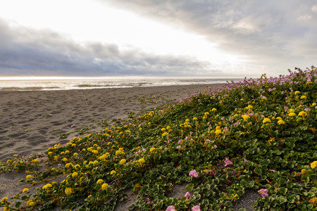 beaks: serene landscape of the northern California coast with beaks in the clouds and fog and blooming succulents covering the sand