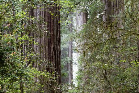 tallest: close up of a towering redwood tree in the forest with its distinctive bark and a wide base Stock Photo